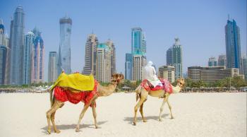 Dubai camello